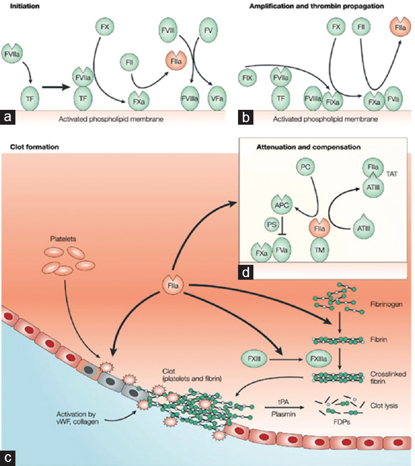 Figure 1: (a-c) Coagulation is initiated through the interaction of tissue factor, upregulated by inflammatory stimuli, with Factor VII, which generates activated Factor VIIa. The tissue factor–Factor VIIa complex then catalyses the conversion of Factor X to Factor Xa, leading consecutively to the activation of Factor V and the conversion of prothrombin to thrombin (FIIa). Thrombin then directly causes clot formation by cleaving fibrinogen to fibrin and also activates FXIII. (d) Inhibition of coagulation cascades occur through inactivation of FVa by protein S and activated protein C generated by the thrombomodulin–thrombin complex. Excess thrombin is compensated by direct inhibition by anti-thrombin III via formation of the thrombin–anti-thrombin III complex<sup>[9],[10]</sup>